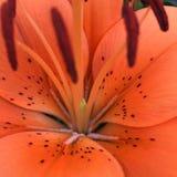 Orange dagligt liljamakroskott Royaltyfri Fotografi