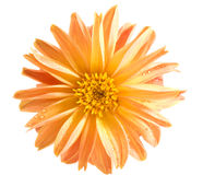 Orange dahlia Royalty Free Stock Image