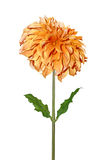 Orange Dahlia Royalty Free Stock Photo