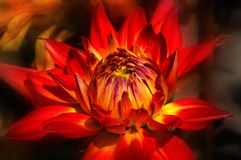 Orange Dahlia. Orange and yellow Dahlia stock image