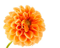 Orange dahlia Royalty Free Stock Photos
