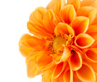 Orange dahlia Stock Images