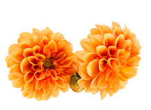 Orange dahlia Royalty Free Stock Photography