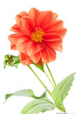 Orange dahlia. Bright orange single-flowering dahlia isolated over white Stock Image