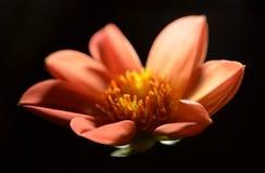 Orange dahlia Arkivfoton