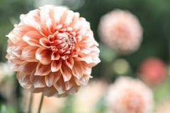 Orange dahlia Fotografering för Bildbyråer