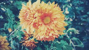 Orange dahlia blossom Royalty Free Stock Image