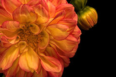 Orange Dahlia with Bud on Black. Floral portrait of an orange and yellow Dahlia with bud on black Royalty Free Stock Images