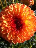 Orange Dahlia Stock Photo