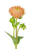 Orange dahlia flower. Beautiful dahlia flower isolated on white background Royalty Free Stock Photos