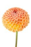 Orange dahlia flower Royalty Free Stock Photos