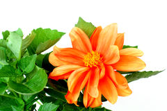 Orange Dahlia Flower Stock Photography