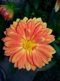 Orange dahlia Stock Photos