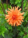 Orange dahlia flower. Beautiful orange dahlia flower in summer garden, Lithuania Stock Images