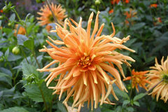 Orange dahlia flower. With other blooms, buds and dahlia leaves in the background Royalty Free Stock Image