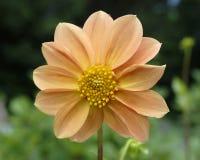 Orange dahlia flower closeup Stock Images