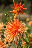 Orange dahlia flower in garden Royalty Free Stock Photos