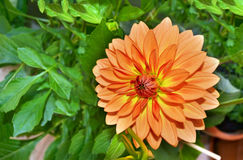 Orange dahlia flower. With green nature background Royalty Free Stock Photo