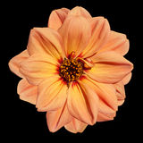 Orange Dahlia Flower  Isolated on Black Background Royalty Free Stock Photography