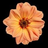 Orange Dahlia Flower  Isolated on Black Background. Beautiful Orange Dahlia Flower  Isolated on Black Background Royalty Free Stock Photography