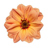 Orange Dahlia Flower  Isolated on White Background Royalty Free Stock Photography