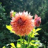 Orange dahlia flower Stock Photos