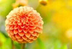Orange dahlia flower Royalty Free Stock Photography