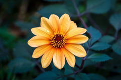 Orange Dahlia Flower. An orange Dahlia flower with a small amount of water on the petals Stock Images