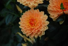 Orange Dahlia flower - Symbol of elegance, inner strength, creativity change and dignity stock images