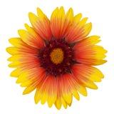 Orange dahlia flower Royalty Free Stock Images