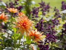 Orange dahlia flowers Royalty Free Stock Photos