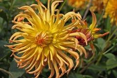 Orange Dahlia flowers Stock Image
