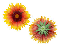 Orange dahlia flowers Stock Photos