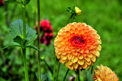 Orange Dahlia Stock Image