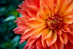 Orange Dahlia gladiator in bloom stock images