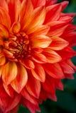 Orange Dahlia gladiator in bloom royalty free stock photo