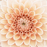 Orange dahlia macro Stock Photography