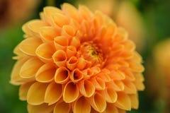 Orange dahlia macro Stock Images