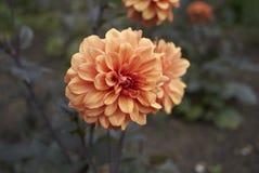 Dahlia named David Howard. Orange Dahlia named David Howard Stock Photo