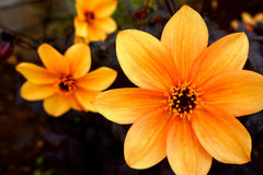 Anemones in Orange royalty free stock photography