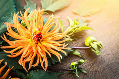 Orange Dahlia in sunlight on dark wooden table Royalty Free Stock Images