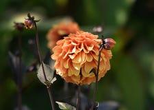 Orange dahliablomma Royaltyfri Bild