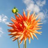 Orange dahliablomma Fotografering för Bildbyråer