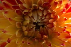 Orange dahliakronbladmakro, blom- abstrakt bakgrund Grund DOF-vårbakgrund Royaltyfri Foto