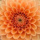 Orange dahliamakro arkivfoton