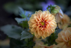 Orange dahlias blossoms Royalty Free Stock Photo