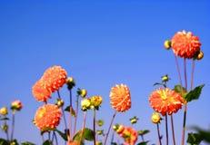 Orange dahlias the sun Stock Photo