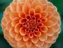 Orange Dahlie Stockfoto