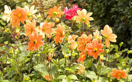 Orange Dahlie auf Blumenbeet Lizenzfreies Stockbild