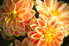 Orange Dahlieblume Lizenzfreies Stockfoto